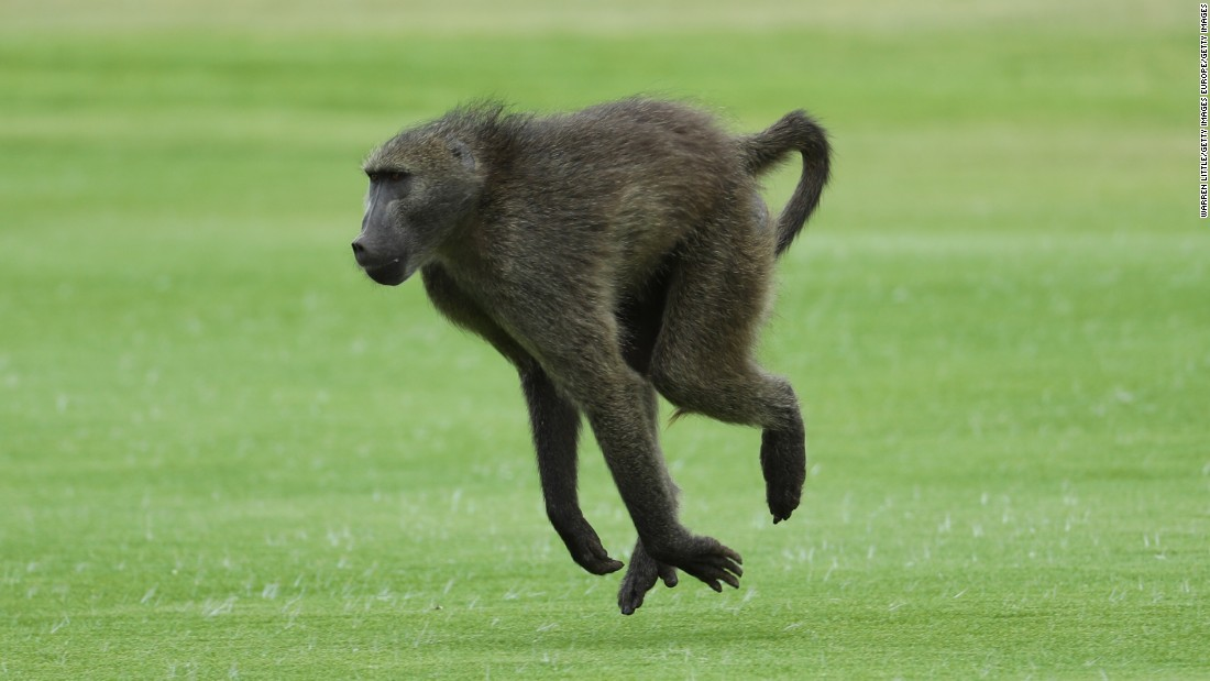 Not to be outdone, a baboon streaks across the fairway of the Gary Player Golf Course Friday.