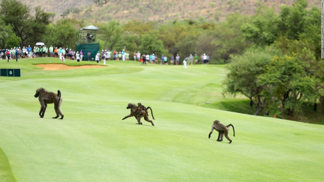 The Sun City course is a wildlife haven, and the neighboring Lost City Golf Course boasts a water hazard containing Nile crocodiles.