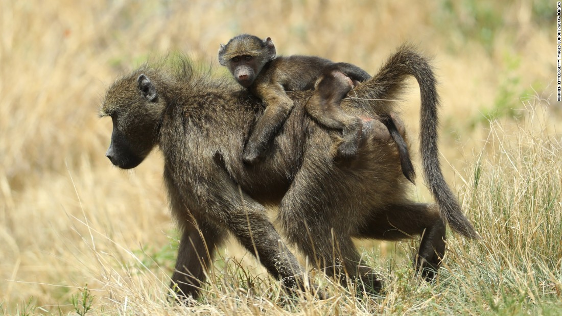 Baboons wander in the rough at the Nedbank Golf Challenge.