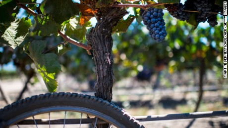 View of a bunch of Pinot Noir grapes at the Cono Sur vineyards and winery in Chimbarongo, some 200 km south of Santiago, Chile on March 18, 2016 As part of its marketing structure, Cono Sur, producer of Bicicleta wine, sponsors several bicycle tours of the world, including the Tour of France. / AFP / MARTIN BERNETTI        (Photo credit should read MARTIN BERNETTI/AFP/Getty Images)
