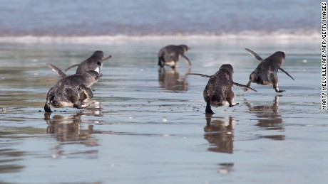 Little blue penguins are under threat from human activity.