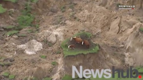 These cows survived the powerful earthquake in New Zealand ORIG _00002606