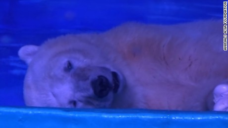 World's saddest polar bear