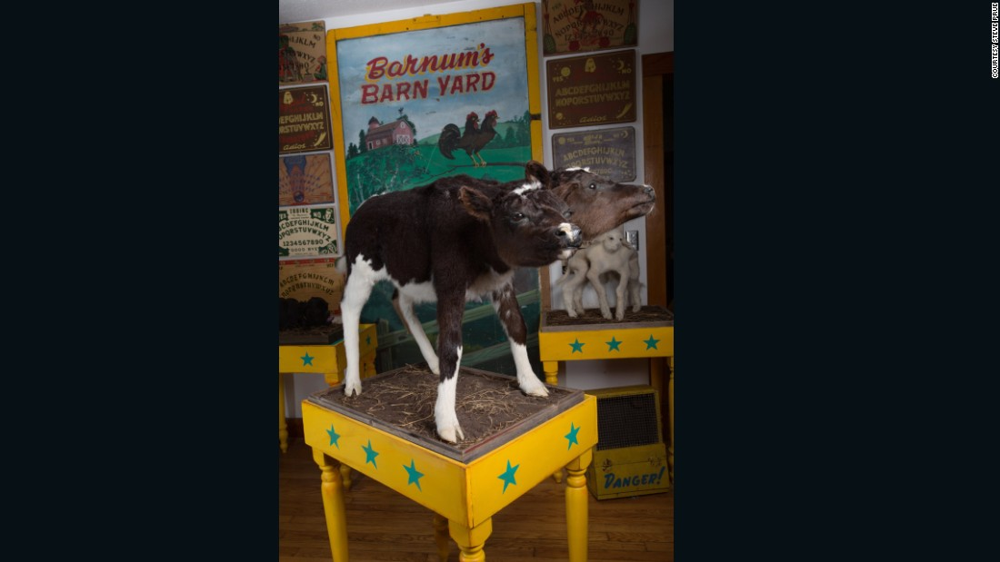 The body of this two-headed calf was shipped directly to the taxidermist before it ended up in the home of Connecticut collector Calvin Von Crush.