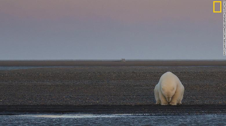 "The ""Climate Change -- In Focus"" exhibition shows the effects of climate change. <br />Pictured: A solitary bear sits on the edge of one of the Barter Islands, Alaska. There is no snow, when at this time of year, there should be,"" wrote photographer Patty Waymire. <em>Via National Geographic <a href=""http://yourshot.nationalgeographic.com/"" target=""_blank""><em></em>Your Shot</a></em>"