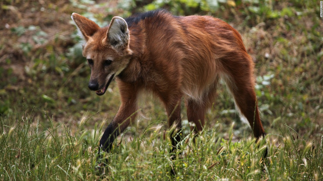 "Among Minas Gerais' natural attractions is the<em> lobo guará, </em>or ""maned wolf,"" the largest canid in South America. In the Parque Natural do Caraça, there's a priest who regularly feeds the animals as visitors look on."