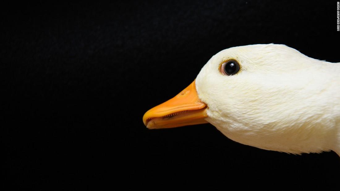 A Call duck.