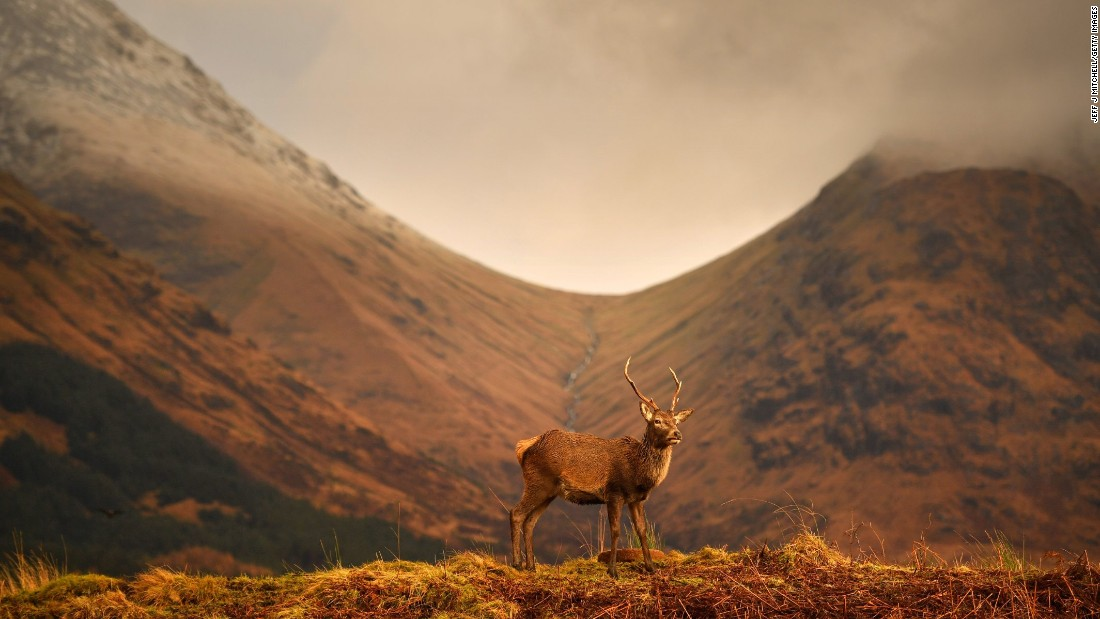 Monarch of the Glen. A Scottish red deer grazes in Glen Etive following the end of the rutting season. Stags bellow to compete for mates in the Scottish Highlands, but need to spend winter feeding to regain strength for the following season.<br />