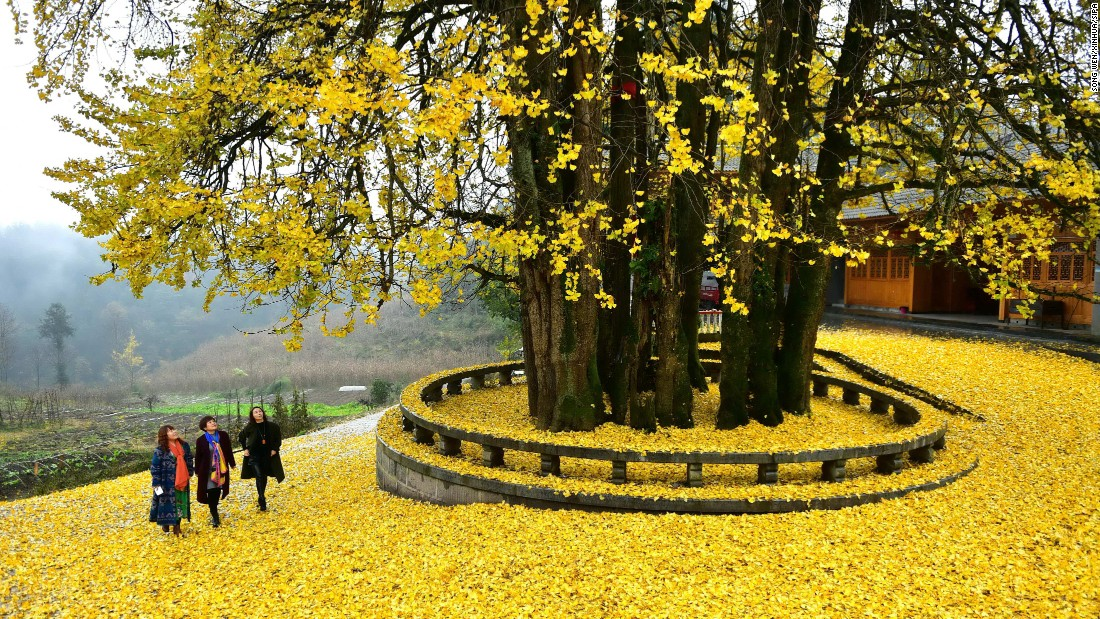 Tourists visit an ancient ginkgo tree in Maobatang Village, Xuan'en County of central China's Hubei Province. Revered for its beauty and longevity, the ginkgo tree is regarded by botanists as a living fossil. <br />