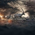 Abu Dhabi best spots SBY_Arabian_Oryx_Panorama