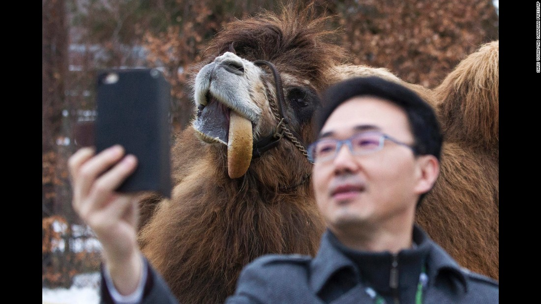 A journalist takes a selfie with Alice, a Bactrian camel at the Toronto Zoo, before a naming ceremony for two panda cubs on Monday, March 7.