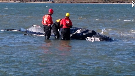 Veterinary team from NOAA, the Riverhead Foundation for Marine Research and Preservation, International Fund for Animal Welfare, and North Carolina State University assess the stranded humpback whale. (NOAA)