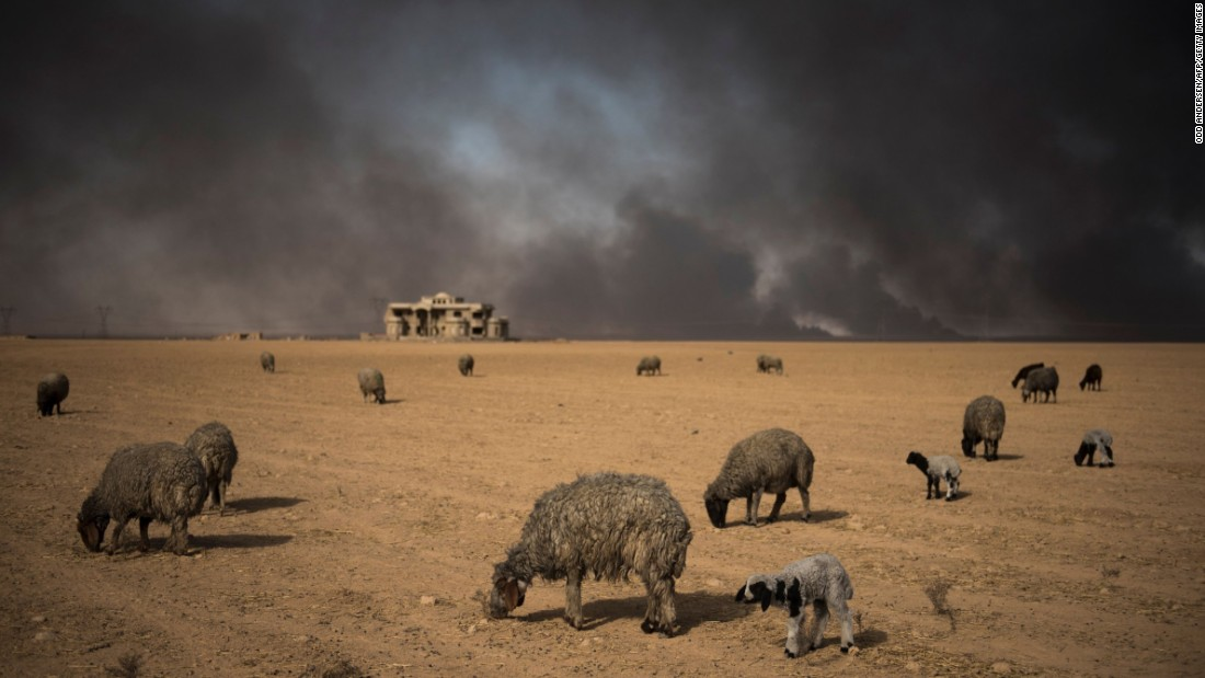 Sheep, blackened by smoke from burning oil wells, graze in Qayyara, Iraq, on Sunday, November 20.