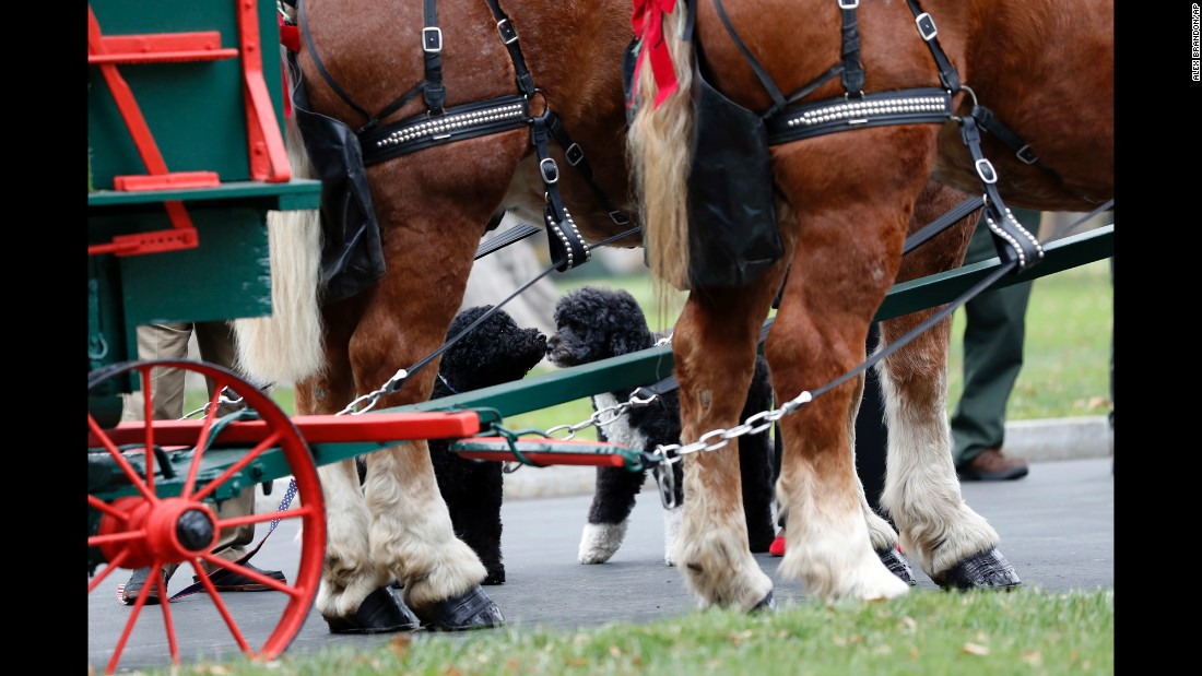 The first family's dogs, Sunny and Bo, check out the horses that helped deliver the official White House Christmas tree on Friday, November 25.