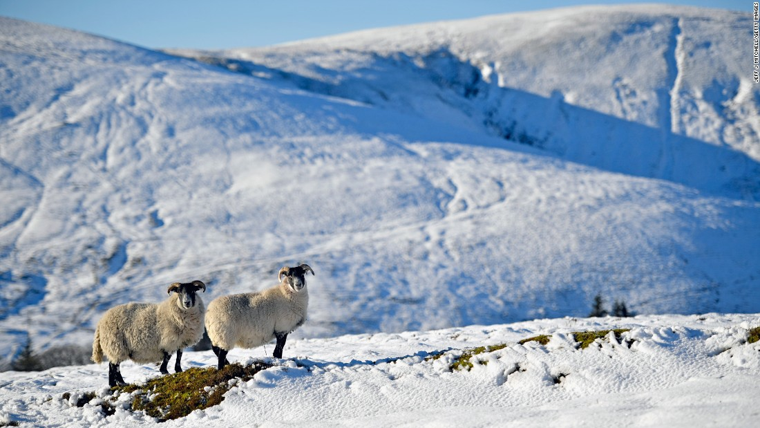 Sheep graze in the snow in Wanlockhead, Scotland, on November 25.
