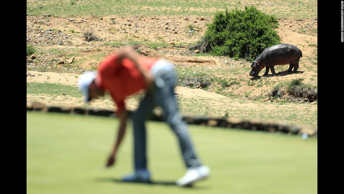 A hippo is seen next to the golfing green during the final round of the Alfred Dunhill Championship in Malelane, South Africa, on Sunday, December 4.