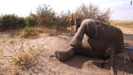 Elephants are slaughtered by poachers who seek their ivory tusks.