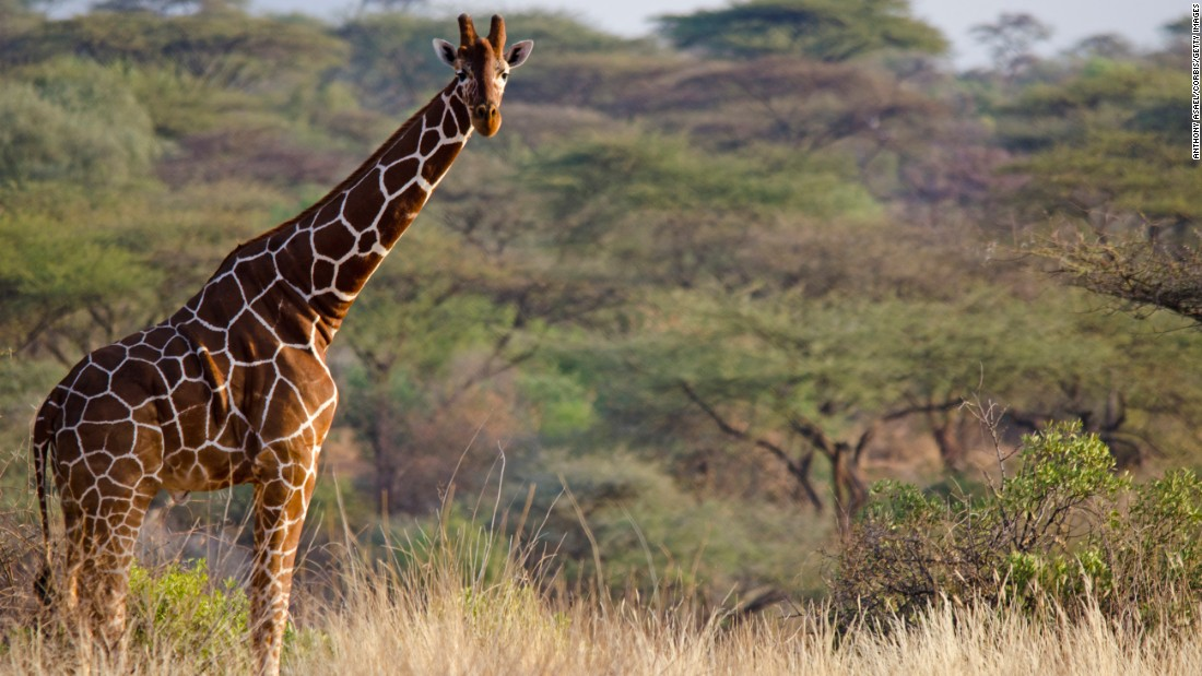 Imagine a world without giraffes - CNN.com