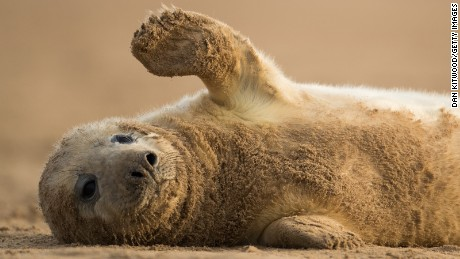 LOUTH, ENGLAND - DECEMBER 05:  A grey seal pup rolls on the sand near the Lincolnshire Wildlife Trust's Donna Nook nature reserve on December 5, 2016 in Louth, England. Seal numbers have continued to increase with over 1600 pups born at the reserve this year.  Large bull seals are the first to arrive at the reserve in late October or early November where they will wait for females. The cow's arrive later and are herded into harems by the bulls, where they give birth to a single pup which is covered in white fur. The seals return to the North Sea in January before returning to the same area to give birth the following year. The Donna Nook reserve is the UK's premier destination to see Grey Seals and thousands of visitors from across the country come to see the wildlife spectacle every year.  (Photo by Dan Kitwood/Getty Images)