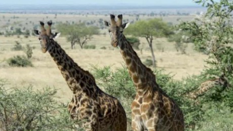 giraffe population plunge sutter intv wrn _00005819.jpg