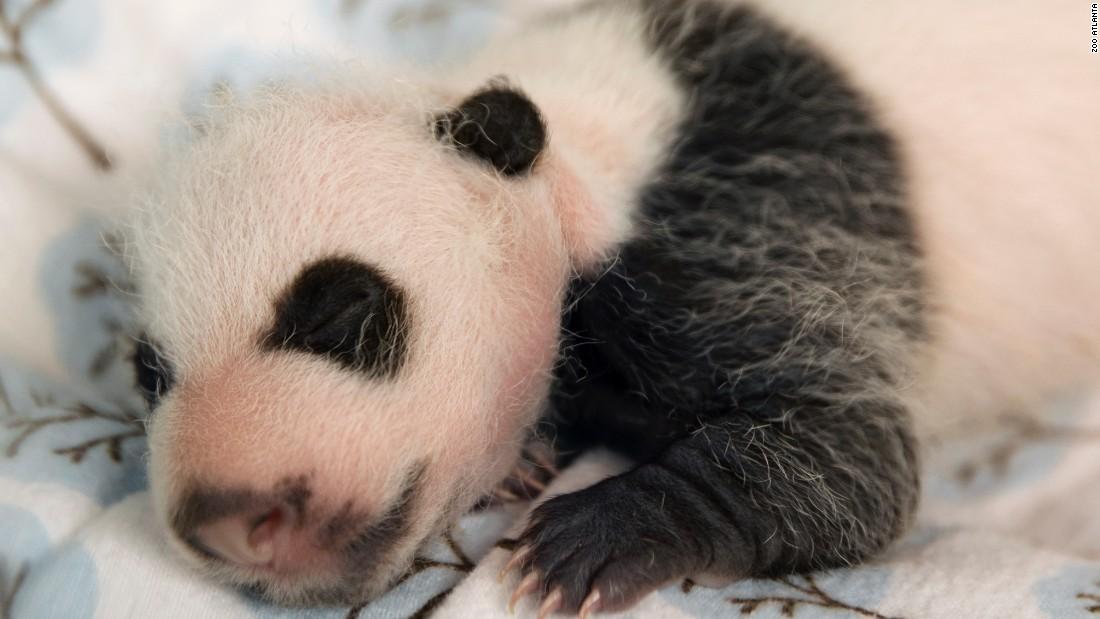 Atlanta panda twins receive names - CNN.com