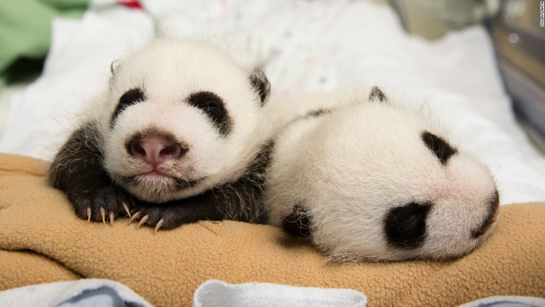 Cub-swapping is used because in the wild giant panda mothers usually care for only one cub when twins are born. The twins are pictured here on October 6.