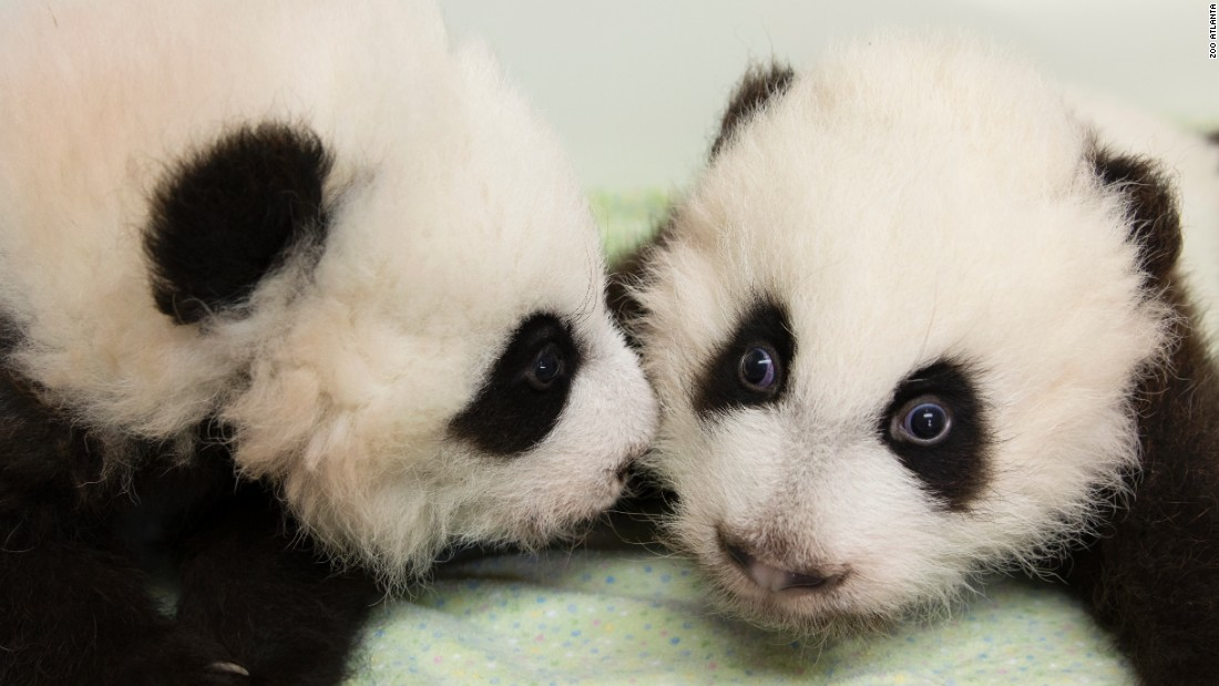 Zoo Atlanta's giant panda cubs Ya Lun, right, and Xi Lun were formerly known as Cub A and Cub B. They're pictured here on December 2, 2016.