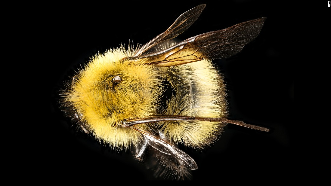"""Ah, the lovely yellow of Bombus perplexus,"" writes Droege. ""For some reason, this species' coloration tends towards bright yellow while other eastern bumbles are more subdued in their yellowness. It varies with their age (the sun fade bumbles plumage) but a nice lemon yellow (color) usually means this species."""