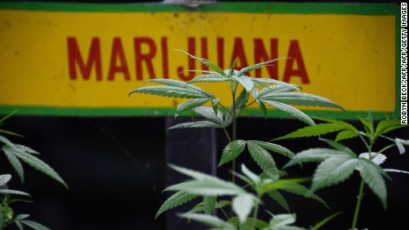 Marijuana plants grow on the grounds of the Bob Marley Museum in Kingston, Jamaica, June 9, 2015.   AFP PHOTO/ROBYN BECK        (Photo credit should read ROBYN BECK/AFP/Getty Images)