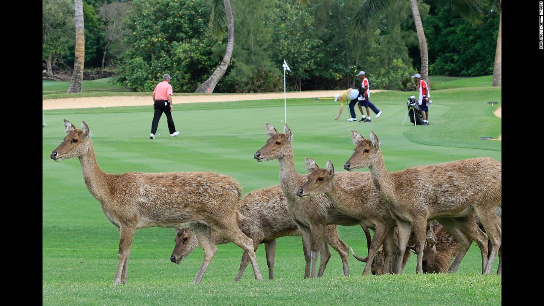 Deer walk on the golf course during a European Senior Tour event in Poste de Flacq, Mauritius, on Friday, December 9.