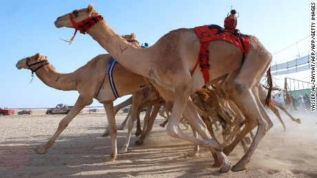 Camel races are popular across the region. Pictured here, the district of Kabad, southwest of Kuwait City, held a race in October.