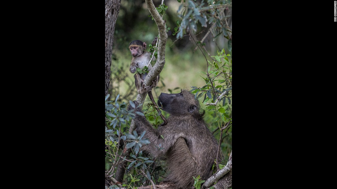 April is prime time to see baby animals in Kruger. Pairs like this Chacma baboon mother and infant have many seemingly human interactions as the mother teaches the youngster how to live in this brand new world.