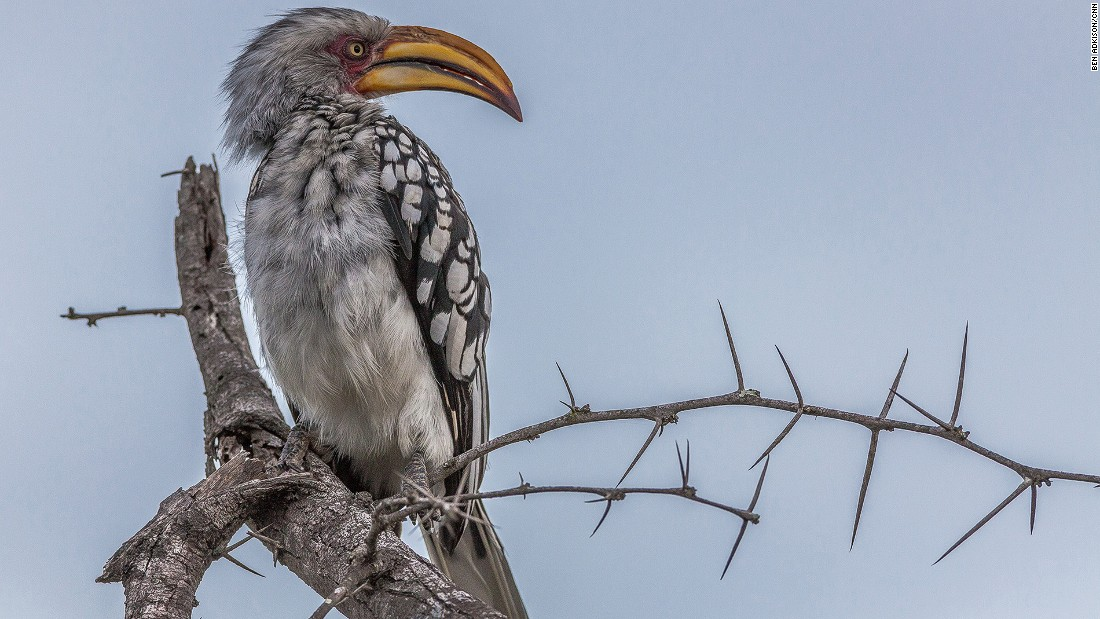 While not always the primary mission of many safari groups, there are amazing bird-watching opportunities in South Africa's Kruger National Park. It's home to more than 500 species of birds including this Yellow Hornbill.