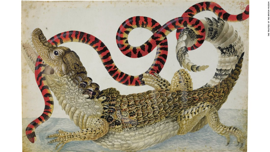 Dutch scientific illustrator Maria Sibylla Merian was known for her extremely detailed drawings of wildlife. She initially drew specimens sent back from the Americas, but would later travel to South America to observe various species in the wild. Seen here: a caiman and a false coral snake.