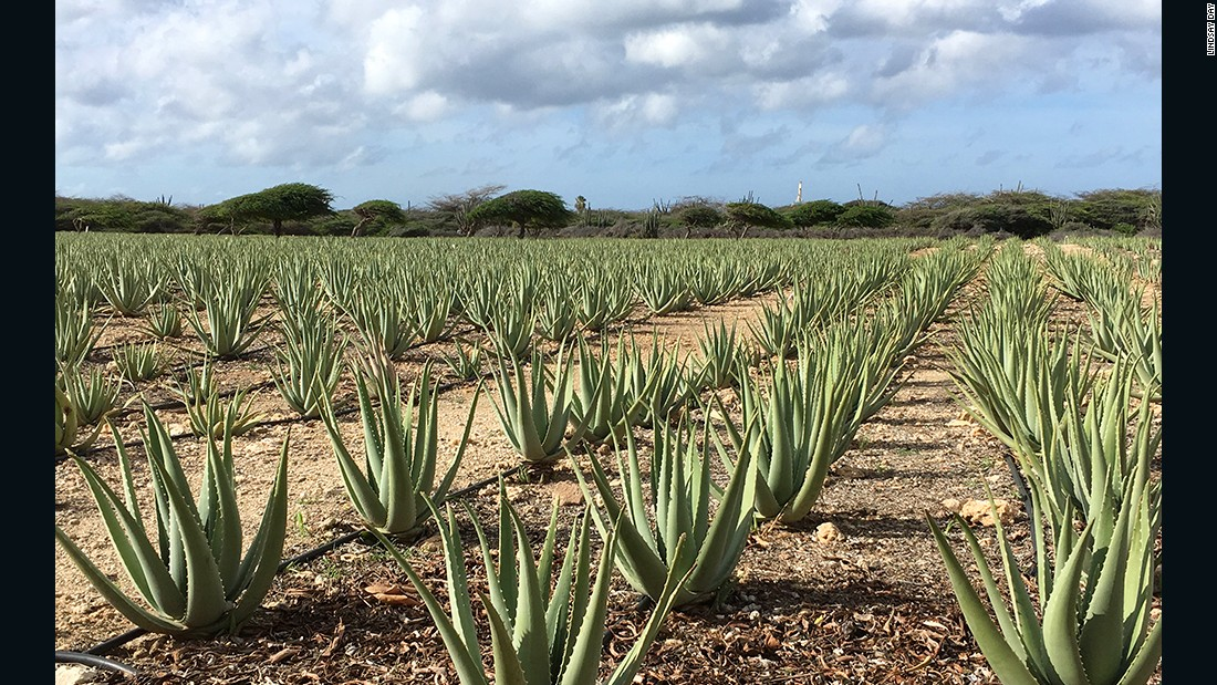 Aruba Aloe was founded in 1890. The company grows, harvests and manufactures aloe products.