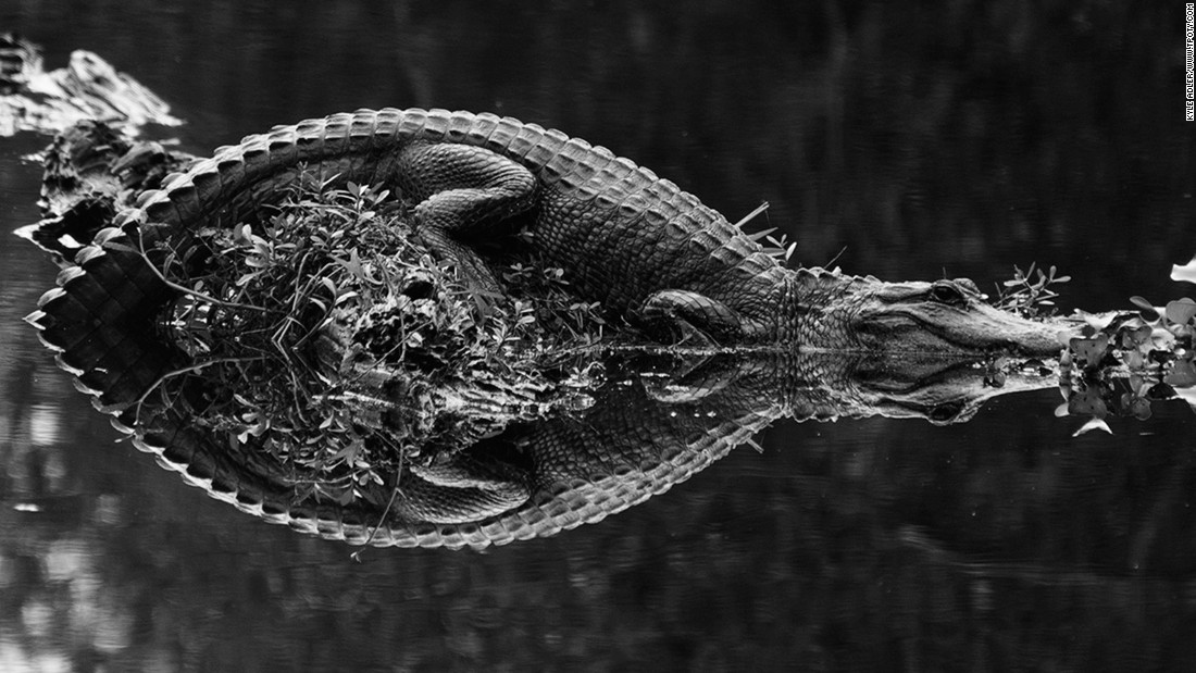 "US photographer Kyle Adler was named joint runner up in the Wildlife and Nature single image category for this shot of a basking alligator. ""The alligator lay out in the middle of the waterway seeking what little sunshine was offered on a cloudy day in December as we sailed by,"" he says."