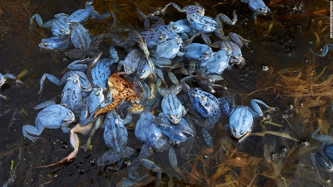 "This tangled heap of male moor frogs trying to mate with a common toad earned German photographer Rudi Sebastian the joint-runner up award in the Wildlife and Nature single image category. Sebastian said the toad only just escaped being drowned. ""It took about 30 minutes before she managed to free herself and reach dry ground."""
