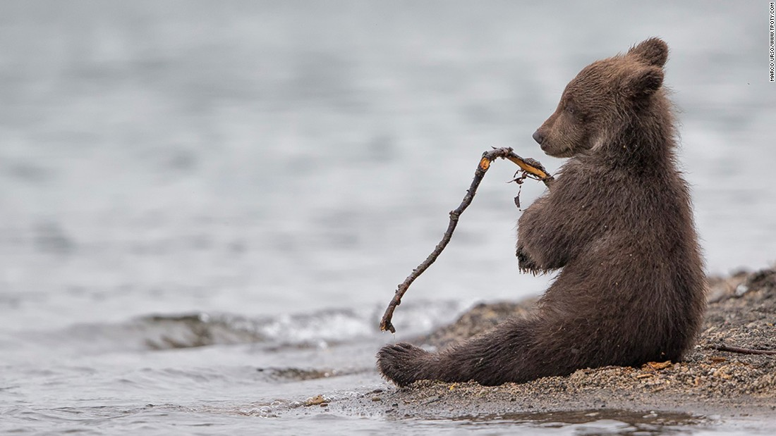 "Italian photographer Marco Urso won a special mention in the Wildlife & Nature category for this image of a young bear in Kamchatka, eastern Russia. ""The young cubs like to play,"" Urso says. ""This one was having fun with a small stick. After biting it, he relaxed for a few seconds, looking like a little fisherman."""