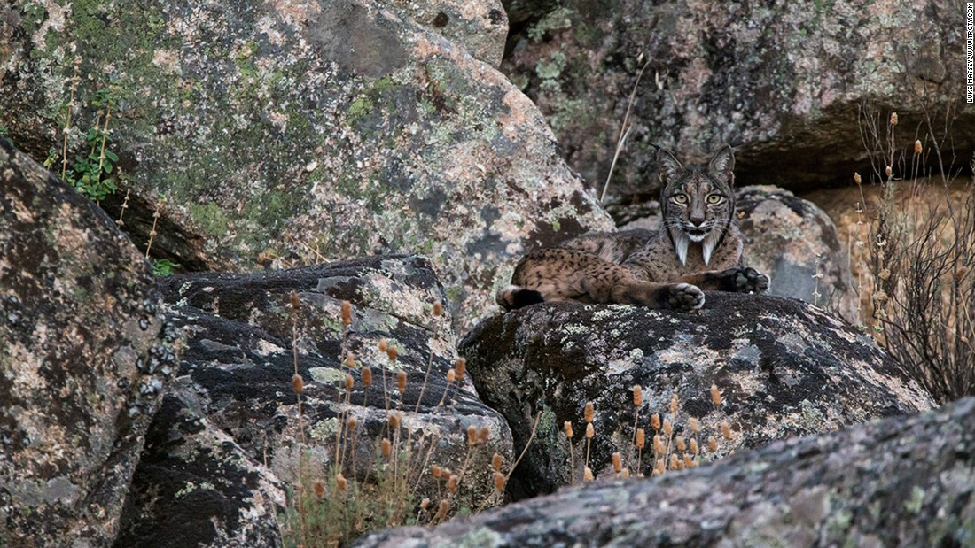 British photographer Luke Massey was named winner in the Wildlife & Nature single image category for this shot of a rare Iberian lynx in Spain's Sierra de Andújar National Park.