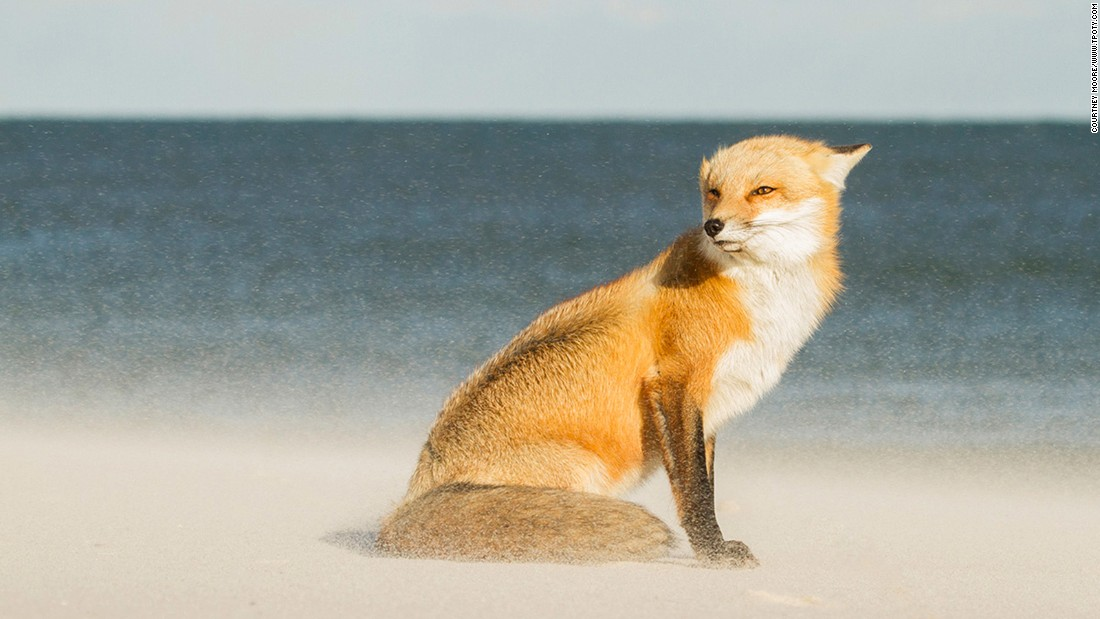This windswept fox earned young US photographer Courtney Moore the top prize in the Young Travel Photographer of the Year 15-18 category.