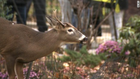 Deer caught at NYC housing complex dies before relocation