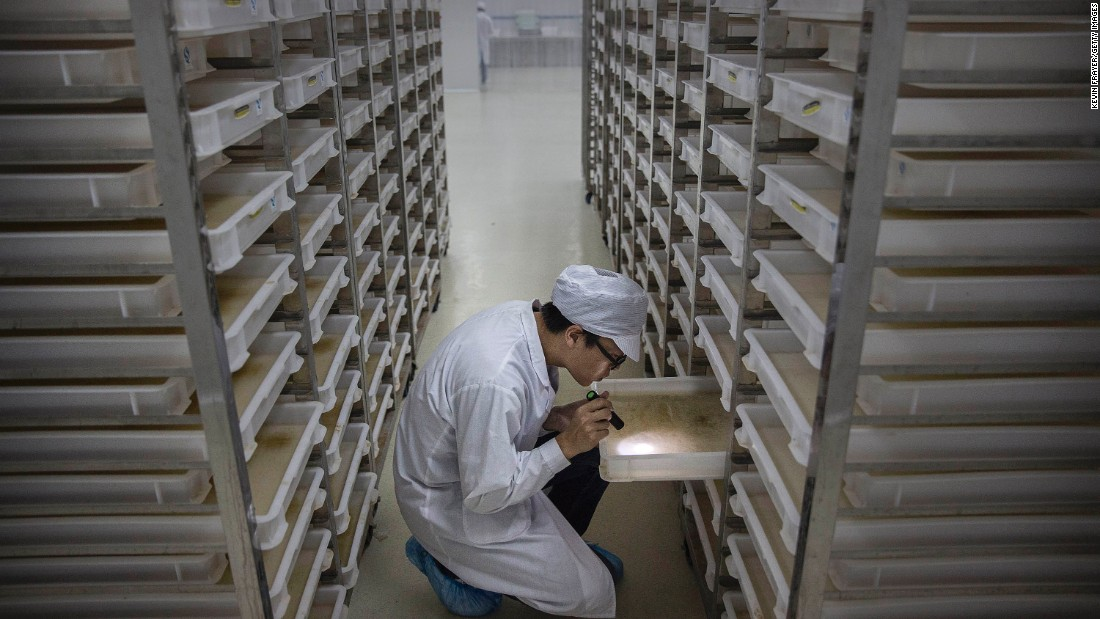 """A lab technician looks at trays of larvae in the """"mosquito factory's"""" mass production facility."""