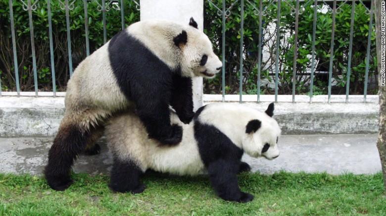 How 'hero father' panda Pan Pan helped to save his species - CNN.com