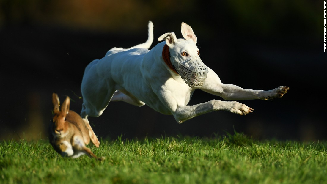A dog named Cumulus Nimbus competes in a coursing event in Limerick, Ireland, on Wednesday, December 28. In coursing, dogs are scored as they chase down game.