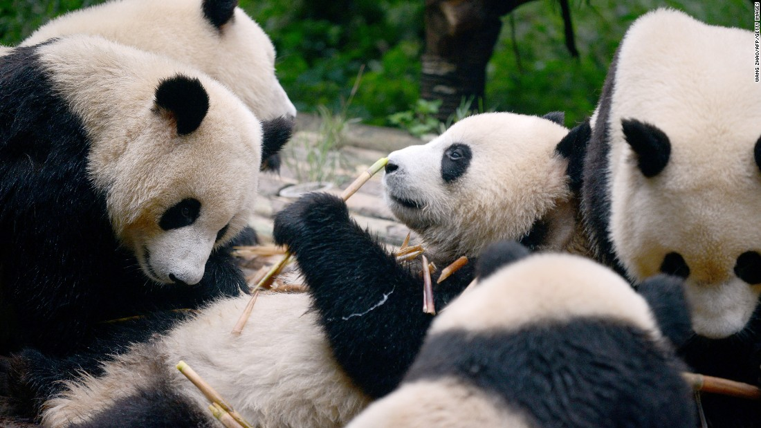 <strong>Chengdu, China -- </strong>Want to get close to these amazing animals? The Chengdu Research Base of Giant Panda Breeding in China's Sichuan province is open for educational tours.