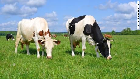 Cows on a summer pastureImage ID:534208336Copyright: smereka