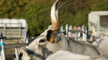 The wild, extinct supercow returning to Europe