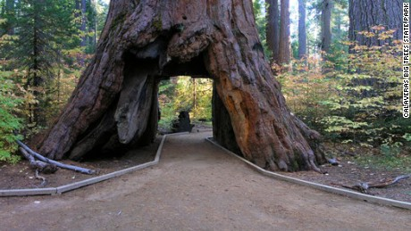 The Pioneer Cabin sequoia tree in the Calaveras Big Trees State Park.