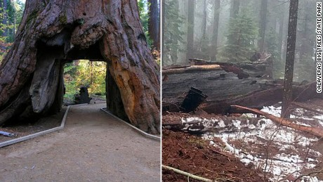 The Pioneer Cabin tree in central California's Calaveras Big Trees State Park fell during a storm Sunday and shattered upon impact, park rangers said.