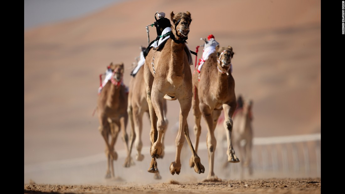Robotic jockeys control camels during the Liwa Sports Festival in Abu Dhabi, United Arab Emirates, on Tuesday, January 3.